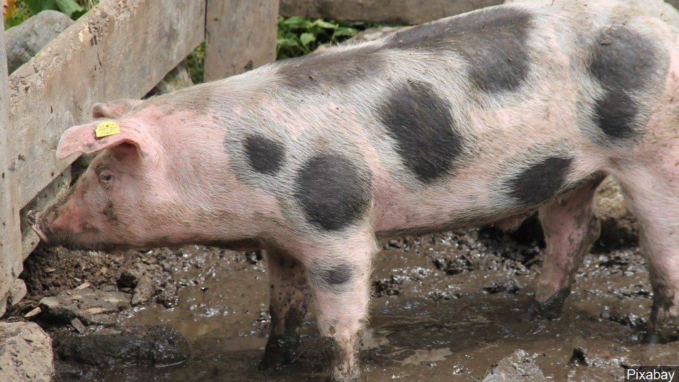 New joint venture formed to convert pig poop to power in Virginia  669b0aa6088c