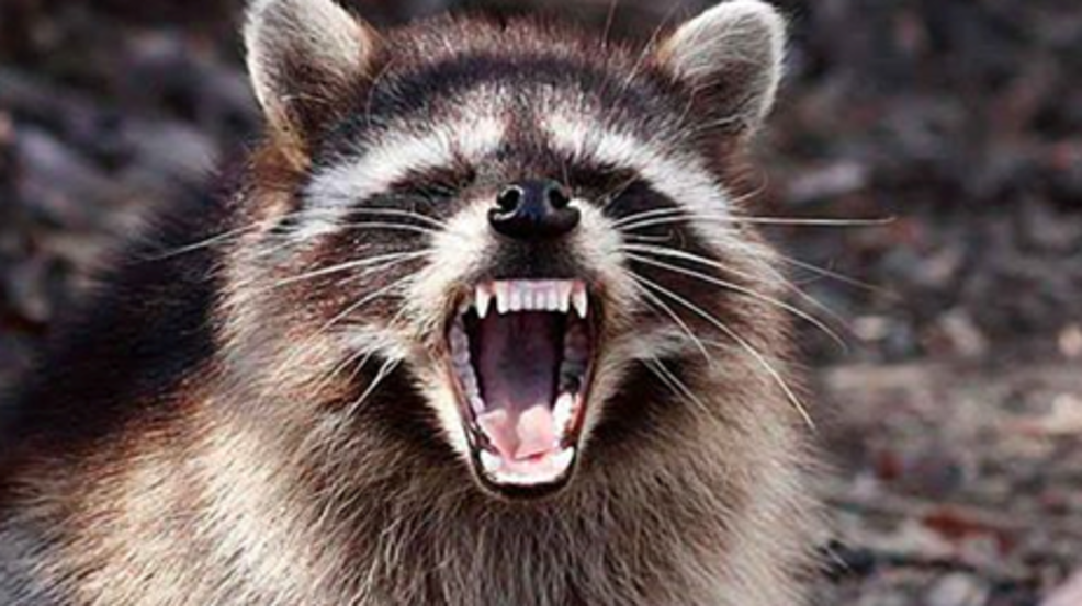 Image of: Wikipedia Dead Rabid Raccoon Left Outside Anne Arundel County Animal Control Center All Animal Control Dead Rabid Raccoon Left Outside Anne Arundel County Animal Control